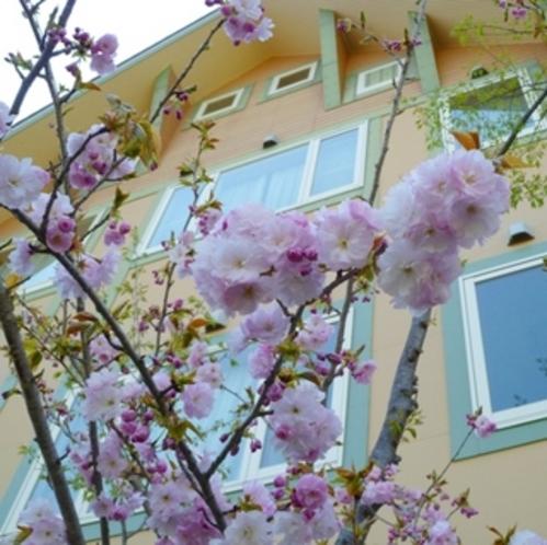 丘の上のホテル自慢の桜の木