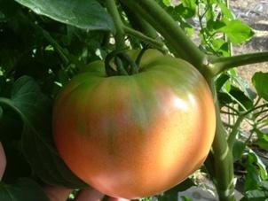 自家野菜 トマト