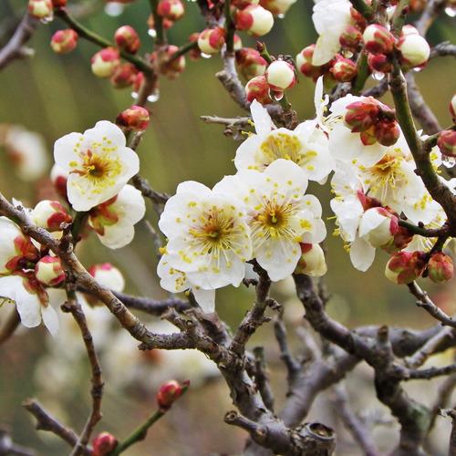 【1〜3月】白梅。花言葉は「気品」