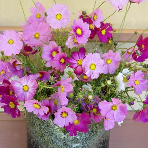 【9〜10月】コスモス。花言葉は「乙女の心、美麗、調和」
