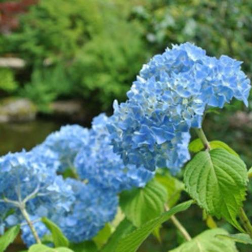 【6月】紫陽花。花言葉の「移り気」はアジサイの花の色が開花後に変化することからきています。