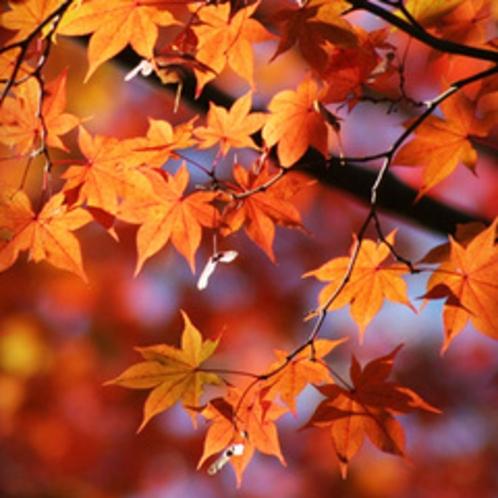 【11月】紅葉。花言葉は「大切な思い出」「美しい変化」「遠慮」
