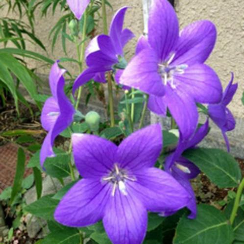 【9〜10月】桔梗。花言葉は「やさしい愛情、誠実、従順」