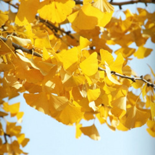 【11月】イチョウ。花言葉は「鎮魂」「長寿」