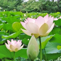 【7〜8月】蓮の花。夏の朝早くに咲き、午後3時ごろには閉じてしまいます。