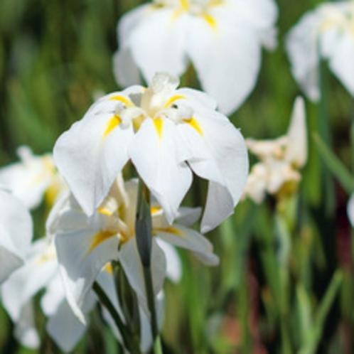 【5月】菖蒲。花言葉は「やさしい心」「あなたを信じます」「忍耐、あきらめ」
