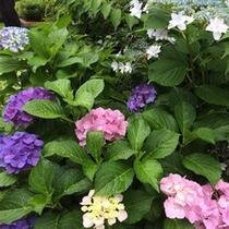 【6月】紫陽花。花言葉は「移り気」「冷淡」「辛抱強さ」「冷酷」「無情」「高慢」