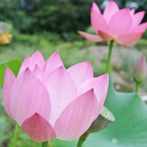【7〜8月】蓮。花言葉は「清らかな心」「神聖」「離れゆく愛」