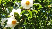*【季節の花々】6月より「夏椿」をご覧いただけます。