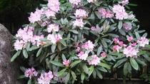 *【季節の花々】3月下旬より「シャクナゲ」をご覧いただけます。