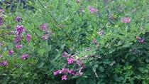 *【季節の花々】6月より「夏萩」をご覧いただけます。