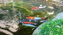 *【池の鯉】