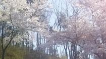 *【季節の花々】3月下旬より「桜」をご覧いただけます。