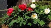 *【季節の花々】5月上旬より「牡丹」をご覧いただけます。