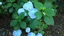 *【季節の花々】6月より「紫陽花」をご覧いただけます。