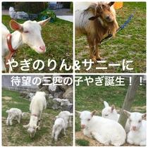 ヤギのりん&サニーに待望の三匹の子ヤギ誕生!!