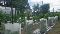 *【自家菜園】自然の恵みから栄養をもらって、すくすくと。