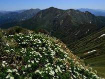 ハクサンイチゲ咲く谷川山稜