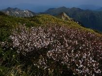 山肌を染める峰桜