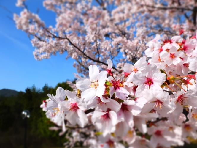 当館周辺に咲く綺麗な桜