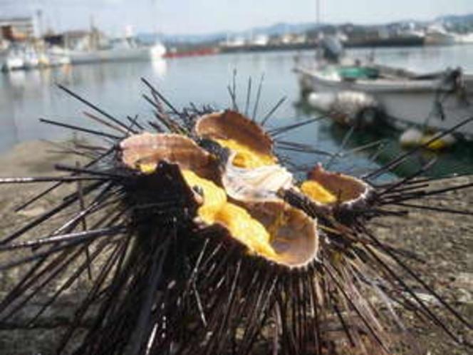 白浜産の地海栗(ウニ)