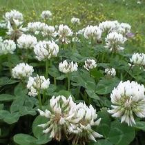 【園内の花】シロツメクサのじゅうたん