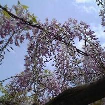 【園内の花】フジ 5月