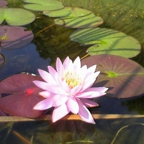 【園内の花】6月~8月は風の池に咲く蓮の花が満開