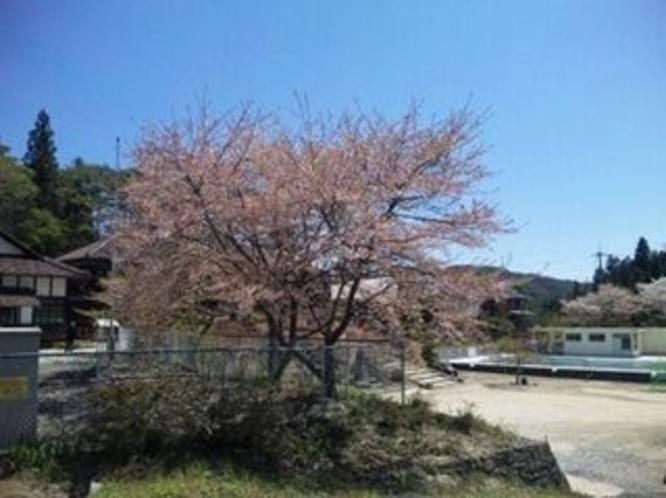 吹屋小学校の桜