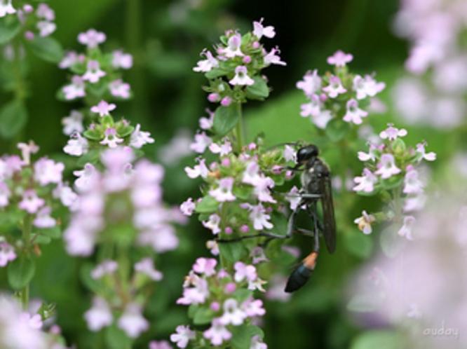 庭のレモンタイム