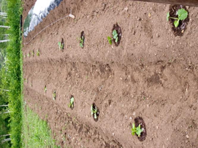 自家菜園 野菜苗