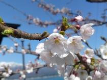 宿の前の桜がほころぶ