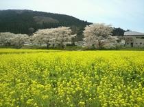 川渡河川敷の菜の花と桜(撮影日4/20)