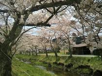 湯沢川の桜並木(撮影日4/20)