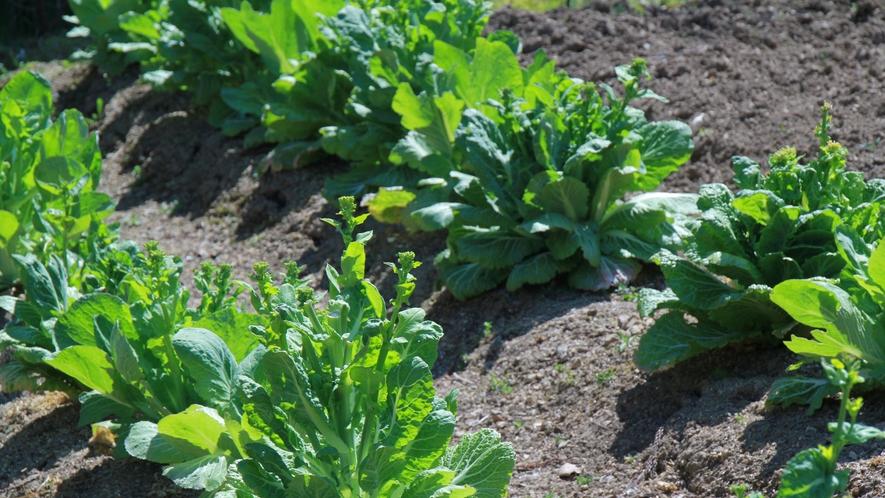 ◆【自家菜園】採りたてをお出ししますので、何の野菜がでるかお楽しみに♪