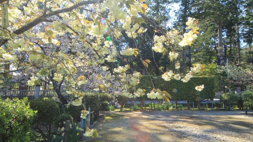 ◆【周辺観光】弥彦神社の黄色い鬱金(ウコン)桜