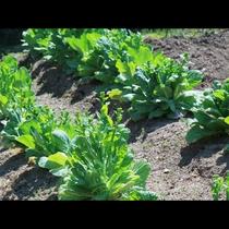 ◆【自家菜園】