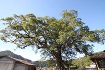島根県で一番大きな木