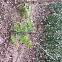 2013年4月 枝豆