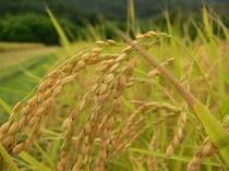 実りの秋・・・海辺で育てるお米はミネラル分たっぷりで甘いんですよ〜♪
