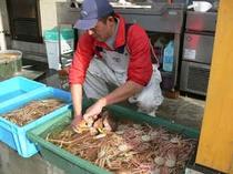 冬の朝は越前蟹の買い付け、選別が日課となります。自前のカニイケスで活かします。