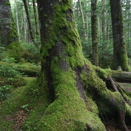 八ヶ岳白駒池 苔の森
