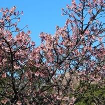 伊豆四季の花公園の寒桜