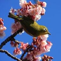めじろと寒桜