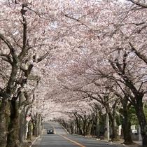 伊豆高原 満開の桜並木