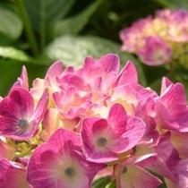 梅雨時に目にも鮮やかなあじさいの花