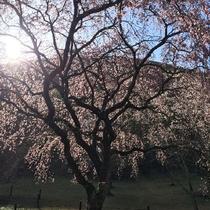 染井吉野が終わっても、大室山は、花盛り