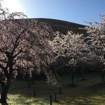 春爛漫、早朝の大室山