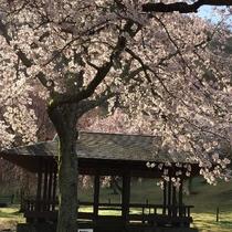 大室山のお休みどころは、和の情緒で桜の花と絶妙なマッチング