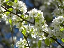 ヤマナシの花